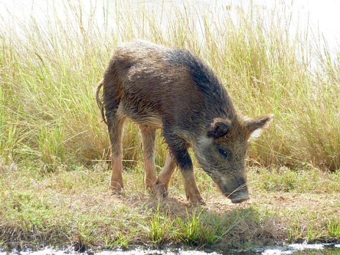 Świnia ukradła z kampera 18 piw, upiła się i pobiłaz krową